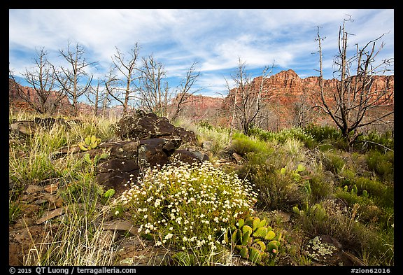 Wildflowers, cacti, and burned trees, Grapevine. Zion National Park (color)