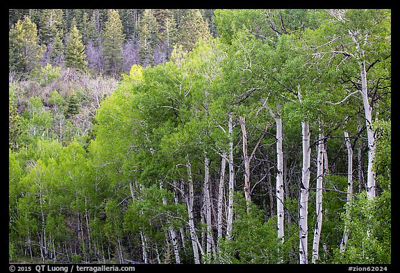 Aspen in early summer, Kolob Terraces. Zion National Park (color)