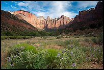 Wildflowers line up meadow under Towers of the Virgin. Zion National Park ( color)