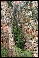 Pine forest clinging to steep cliffs. Zion National Park ( color)