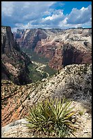 Sotol and Zion Canyon from East Rim. Zion National Park ( color)