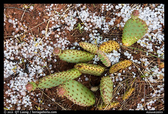 Close-up of cactus with hailstone. Zion National Park (color)