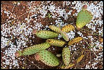 Close-up of cactus with hailstone. Zion National Park ( color)