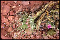 Close-up of flowering cactus, red soil, and hail. Zion National Park ( color)