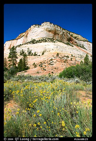 Sage flowers and Navajo sandstone formation, morning. Zion National Park, Utah, USA.