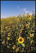 Slope covered with sunflowers. Badlands National Park ( color)