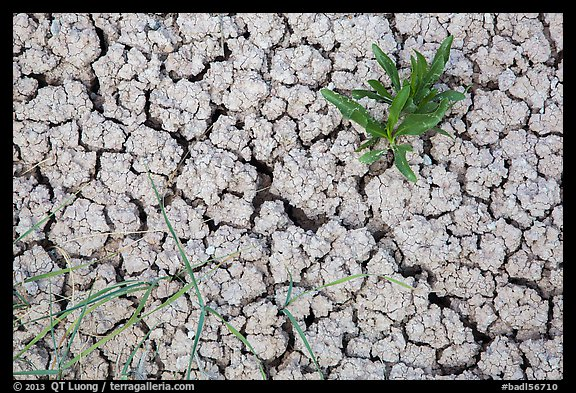 Close-up of plants growing in cracked rock and. Badlands National Park (color)