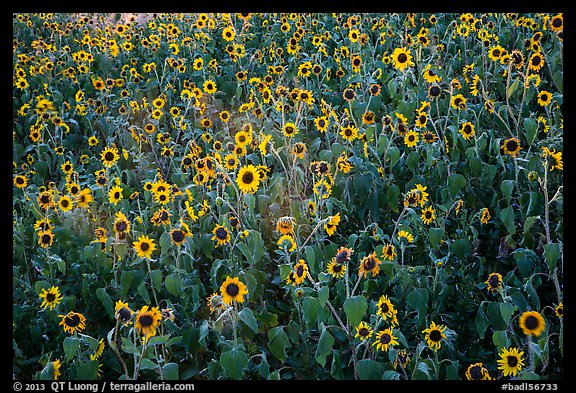 Sunflower carpet. Badlands National Park (color)