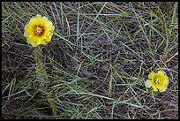 Prickly Pear cactus flowers and grasses. Badlands National Park, South Dakota, USA. (color)