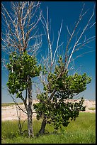 Cottonwood tree. Badlands National Park ( color)
