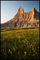 Sunflowers and pointed pinnacles at sunset. Badlands National Park ( color)