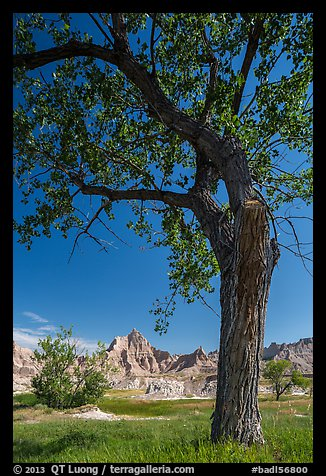 Cottonwood and badlands. Badlands National Park (color)