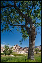 Cottonwood and badlands. Badlands National Park ( color)