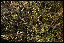 Close-up of mixed grasses, Stronghold Unit. Badlands National Park ( color)
