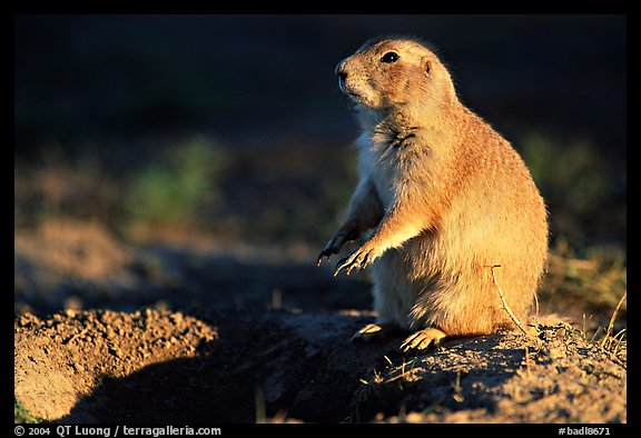 Prairie dog standing next to burrow, sunset. Badlands National Park, South Dakota, USA.