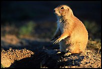 Prairie dog standing next to burrow, sunset. Badlands National Park, South Dakota, USA. (color)