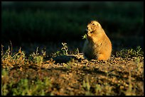 Prairie dog standing, sunset. Badlands National Park, South Dakota, USA. (color)