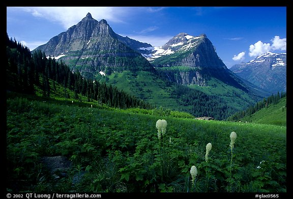 Bear grass, Mt Oberlin and Cannon Mountain from Big Bend. Glacier National Park (color)
