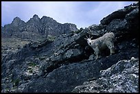 Mountain goat and Garden wall near Logan pass. Glacier National Park ( color)