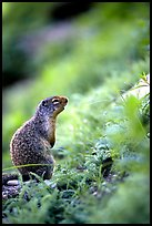 Ground squirrel. Glacier National Park, Montana, USA.