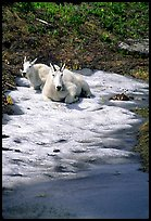 Mountain goats cool off on a neve at Logan Pass. Glacier National Park, Montana, USA.