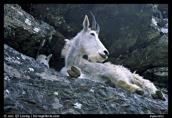 Mountain goat on a rocky ledge. Glacier National Park (color)