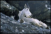 Mountain goat on a rocky ledge. Glacier National Park, Montana, USA. (color)