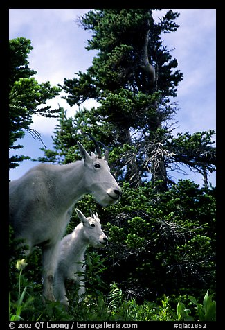 Mountain goat and kid in forest. Glacier National Park (color)