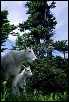 Mountain goat and kid in forest. Glacier National Park, Montana, USA. (color)