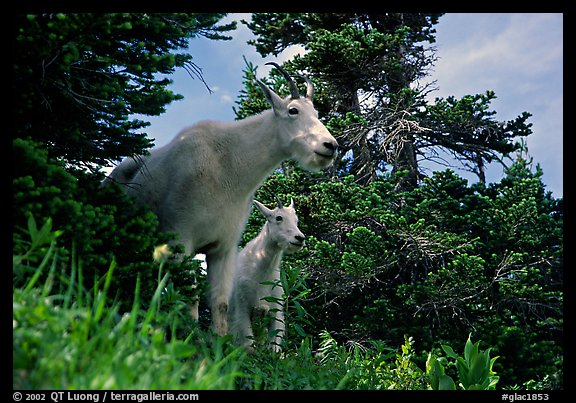 Two mountain goats in forest. Glacier National Park (color)