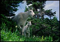 Two mountain goats in forest. Glacier National Park, Montana, USA.