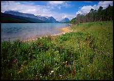 Wildflowers on shore of Sherburne Lake. Glacier National Park, Montana, USA. (color)