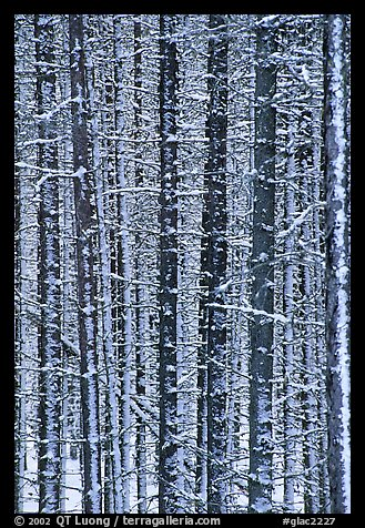 Dense forest with snow in winter. Glacier National Park, Montana, USA.