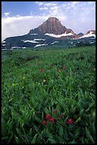 Indian paintbrush and peak, Logan pass. Glacier National Park, Montana, USA.