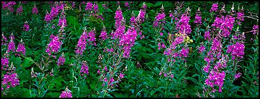 Fireweed. Glacier National Park (Panoramic color)