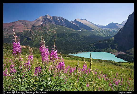 Fireweed and Grinnell Lake. Glacier National Park, Montana, USA.