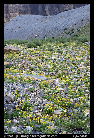Alpine wildflowers. Glacier National Park (color)