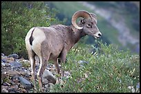 Bighorn sheep. Glacier National Park, Montana, USA. (color)