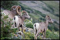Three Bighorn sheep. Glacier National Park, Montana, USA. (color)