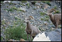 Two bighorn sheep. Glacier National Park, Montana, USA. (color)