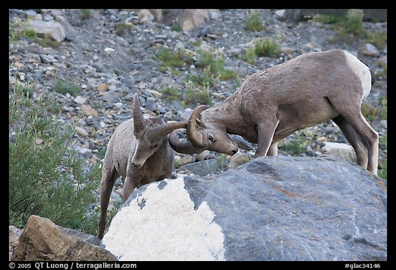 Bighorn sheep fighting. Glacier National Park (color)