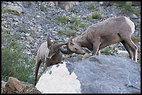 Bighorn sheep fighting. Glacier National Park, Montana, USA.
