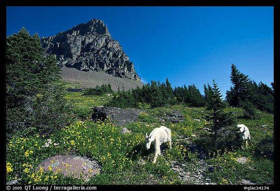 Mountain goats in wildflower meadow below Clemens Mountain, Logan Pass. Glacier National Park (color)