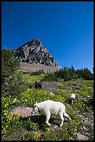 Mountain goat and cub in a meadown below Clemens Mountain, Logan Pass. Glacier National Park, Montana, USA.