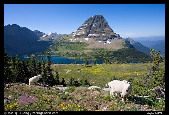 Mountain goats, Hidden Lake, Bearhat Mountain. Glacier National Park (color)