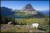 Mountain goats, Hidden Lake, Bearhat Mountain. Glacier National Park, Montana, USA. (color)