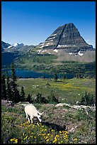 Young mountain goat, with Hidden Lake and Bearhat Mountain in the background. Glacier National Park, Montana, USA.