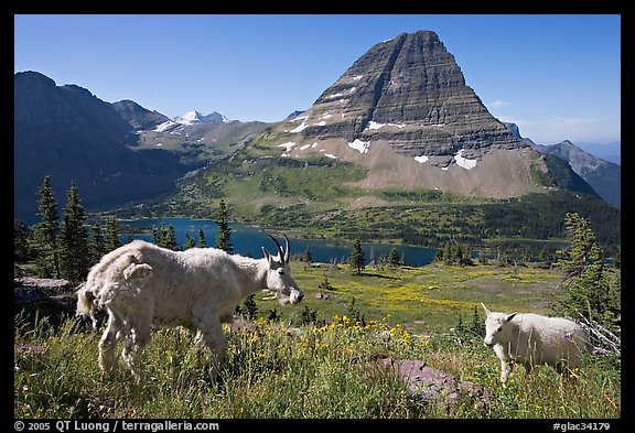Mountain goat and kid, Hidden Lake and Bearhat Mountain in the background. Glacier National Park (color)