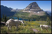 Mountain goat and kid, Hidden Lake and Bearhat Mountain in the background. Glacier National Park, Montana, USA. (color)