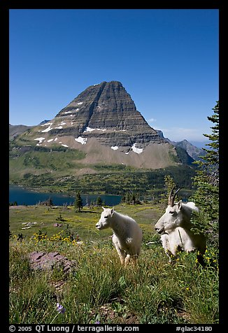 Mountain goats, Hidden Lake and Bearhat Mountain behind. Glacier National Park (color)